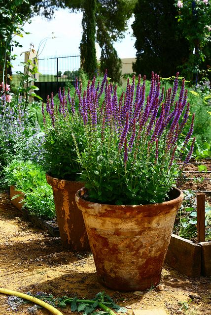 pretty salvia sylvestris may night in aged clay pots blooms all summer garden inspiration. Black Bedroom Furniture Sets. Home Design Ideas