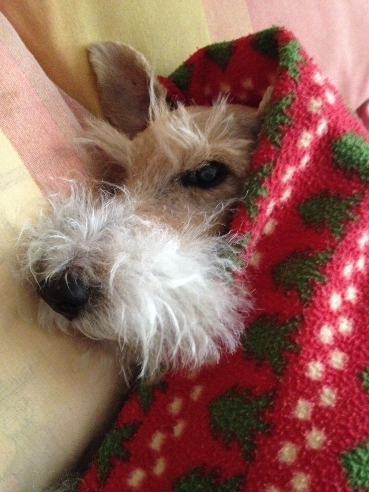 250 best Foxie und andere Terriers images on Pinterest | Dog cat ...
