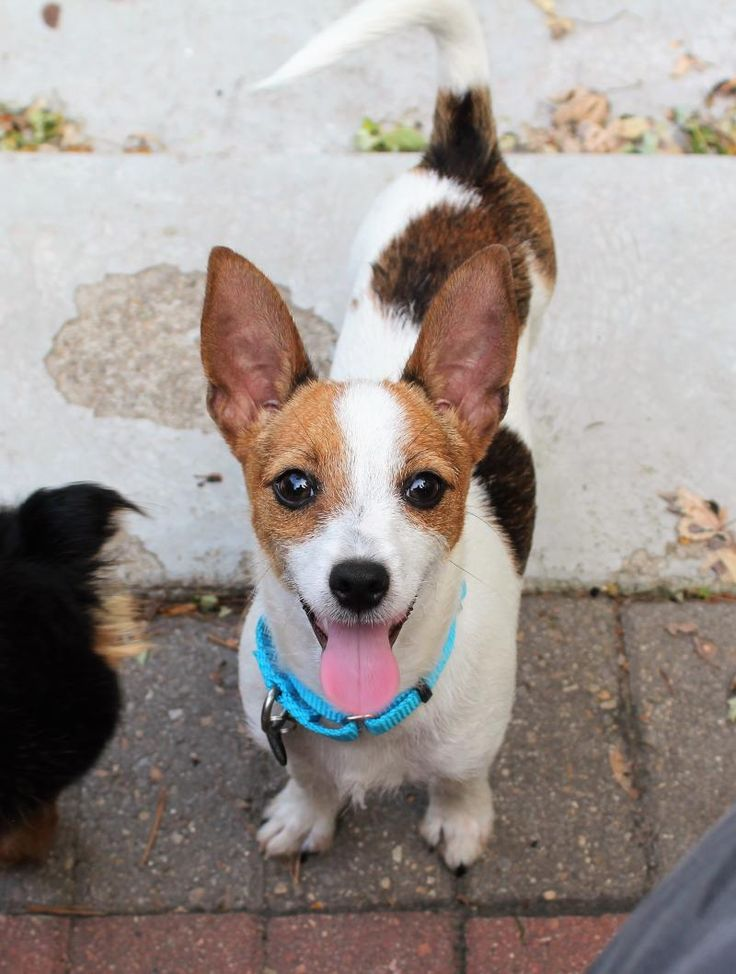 Meet Tom Petty, an adoptable Jack Russell Terrier (Parson) looking for a forever home. If you're looking for a new pet to adopt or want information on how to get involved with adoptable pets, Petfinder.com is a great resource.