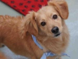 FRANNY is an #adoptable Welsh Corgi Dog in #Denver, #COLORADO. Pretty pooch in search of loving home! I have times of feeling fearful, and hope my kind adopter will be eager to gently reassure me at those mome...