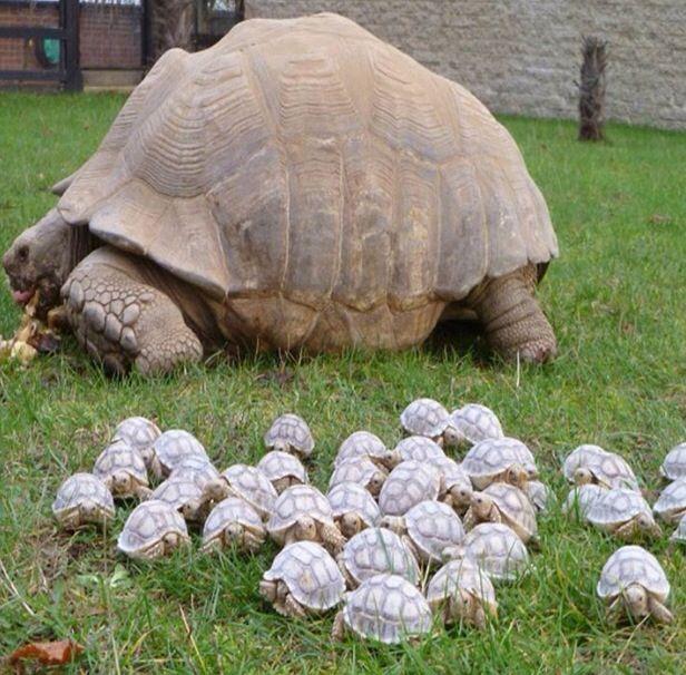 Moeder en baby schildpadden