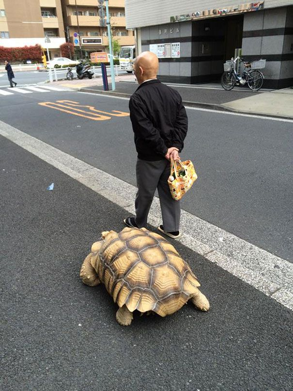World's most patient pet owner walks his giant tortoise through streets of Tokyo