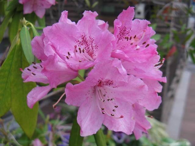 5月21日【シャクナゲ(石楠花、石南花)】学名:Rhododendron (亜種が非常に多く多数の学名を持つ)形態:常緑樹 樹高:低木 高木になるものもある。分類:ツツジ科花色:紅紫・白・桃・黄・赤使われ方:庭木などとして使われています。童謡・唱歌「夏の思い出」の「シャクナゲ色にたそがれる」という歌詞は有名ですね。日本に自生しているシャクナゲの花色は、白から濃淡のピンクです。歌詞にある「はるかな尾瀬 遠い空」の空はいったいどんな色だったのでしょうか。