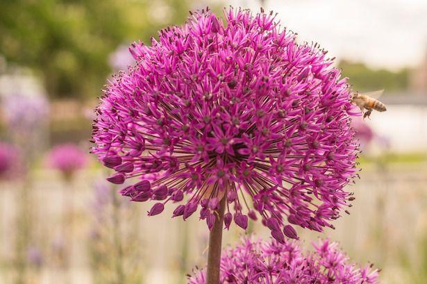 Aglio, fiore e pianta: coltivazione dell'aglio ornamentale. I fiori dell'aglio gigante e le varietà più belle da coltivare in giardino.