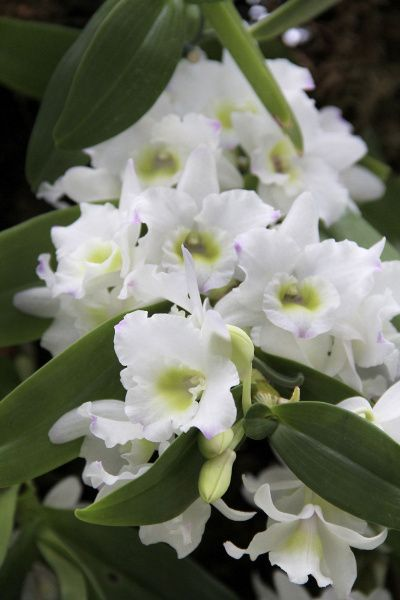 The Nobile dendrobium orchid has fragrant flowers that last up to eight weeks.
