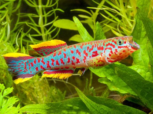 453 Best Adorable Killifish Small Freshwater Jewels Images