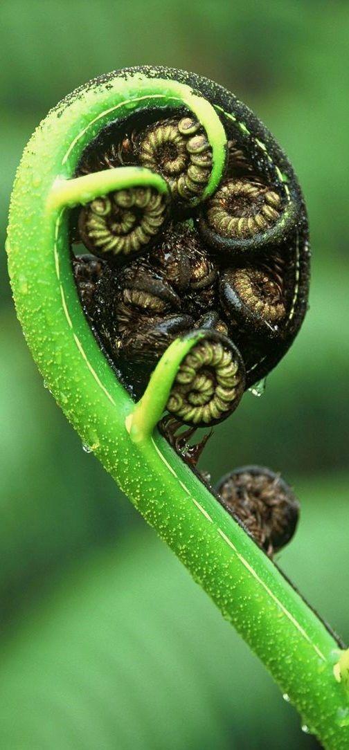 Mamaku, black tree fern (Cyathea medullaris) is New Zealand native tree fern.