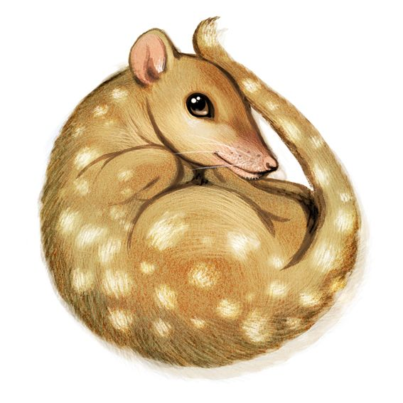 Our Quoll for animal alphabet.