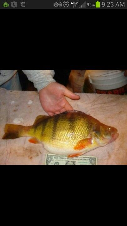 1000 images about fishing summer winter yellow perch for Yellow perch fishing rigs