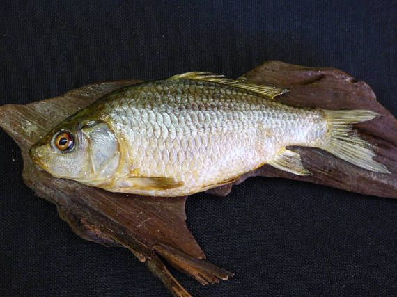 TAXIDERMY small common carp fish. No.22 on DRIFTWOOD. Fish is 11cm long approx.