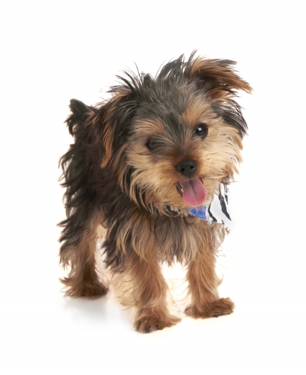 ModDog: Pep-Pep: Little Things, Animals, Dogs, Heart Yorkies, Yorkies My Favorite, Yorkie Hair, Cutest Yorkie, Bad
