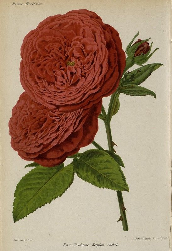 SNHF | Rose madame Scipion Cochet