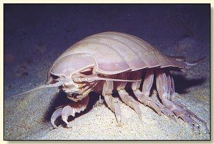 Real Monstrosities: Giant Isopod