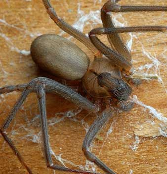 Brown Recluse Spider...these are nasty and deadly insects.