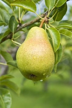 Pear Tree Fertilizer: Tips On Fertilizing A Pear Tree - When conditions are optimal, pear trees are generally able to uptake all the nutrients they need through their root systems. Since life isn't always perfect, however, knowing how and when to fertilize pears is important. This article will help.