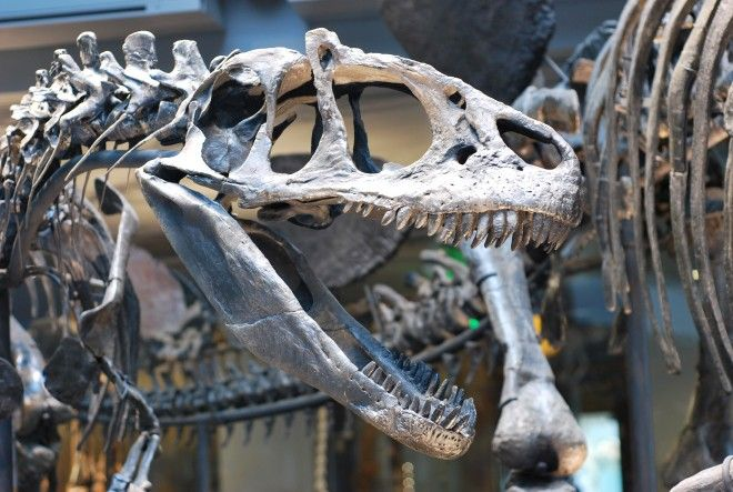 What Famous Fossils Removed From The Museum Of Natural History