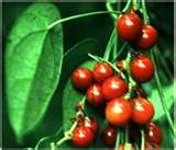 01 - ABUTA. Fruto, Liana de la amazonía, tiene propiedades medicinales.