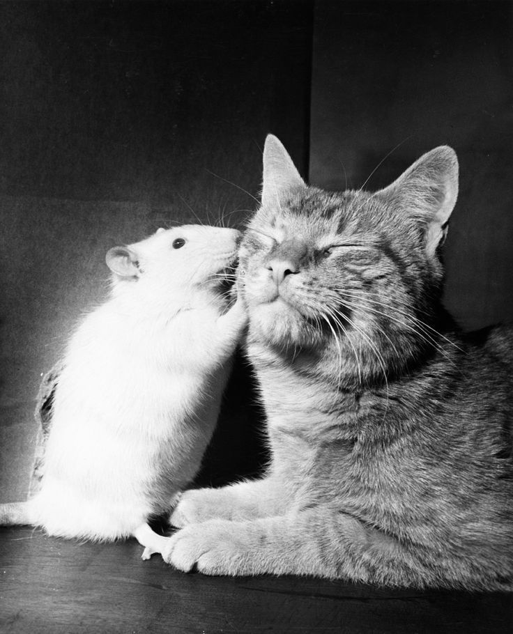Cat and white rat abide in peace. When different species grow up together, they often lose their enmity, April 1964.Photograph by Walter Chandoha, National Geographic
