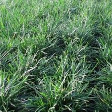 Tanaman Rumput Kucai Bangkok (Mondo Grass)