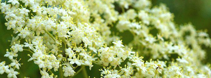 Hyldeblomstsnaps:Ingredienser Nip eller klip ribberne af, og komde små blomster i et glas, tilsæt enflaske vodka og sæt låg på.Lad det trække i mindst2 døgn, si herefter blomsterne fra og hæld snapsen på flaske eller karaffel. Den må meget gerne hvile 2 uger inden den drikkes.