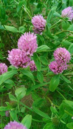Červený jetel – Jetel luční - trifolium pratense Správný název je samozřejmě jetel luční, trifolium pratense. Je to bylinka, která obsahuje látky podobné ženskému hormonu estrogenu, který je účinnější nežli z jiných zdrojů, neboť obsahuje 4 důležité izoflavony – geninstein, daidzein, biochanin A a formononetin. Je to vedle řebříčku a kontryhele další nej… bylinka pro…