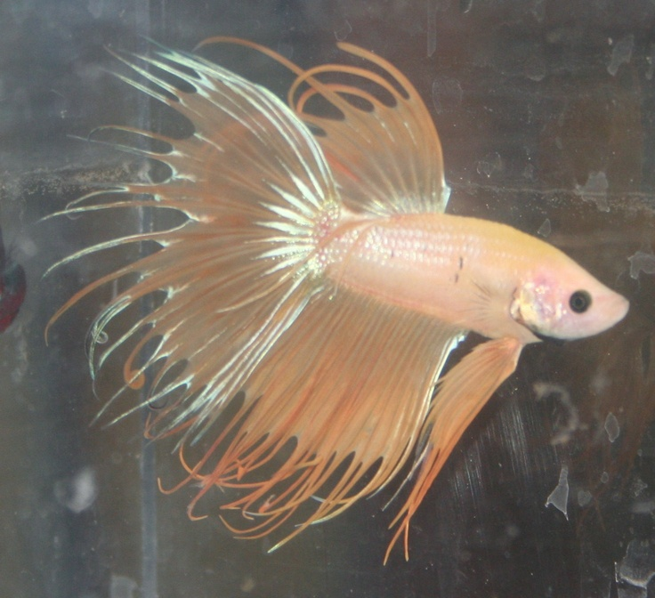 1000 images about bettas on pinterest copper auction for Baby betta fish care