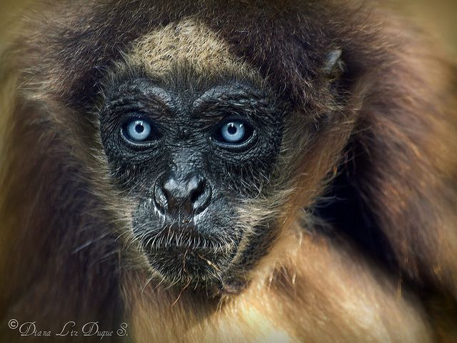 brown spider monkeys essay Free essays on spider monkeys  search primate observation primate observation the primate i have chosen for this observation is the brown-headed spider monkey i.
