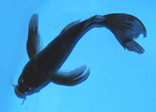 Black Butterfly - Koibay   Koi Fish   Pinterest