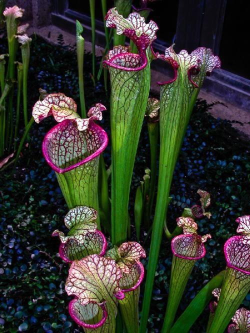 Photographer Unknown - Carnivorous Flower
