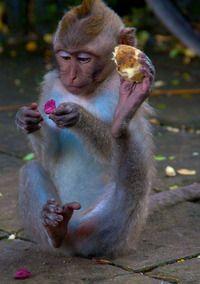 Multitasking. Sacred Monkey Forest ~ Ubud, Bali, Indonesia.
