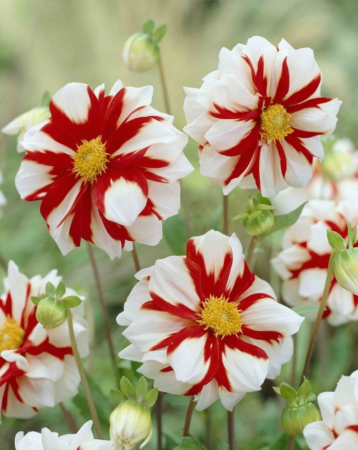 //Dahlia 'Fire and Ice' #flowers