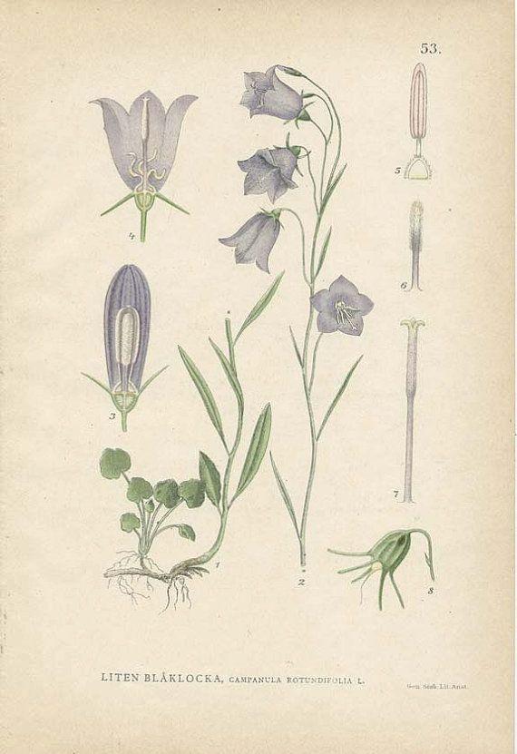 ♕ 1905 book plate of Campanula Rotundifolia