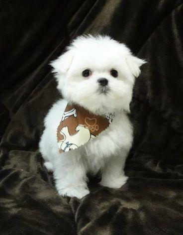 Kirby - Maltese Magic Puppy