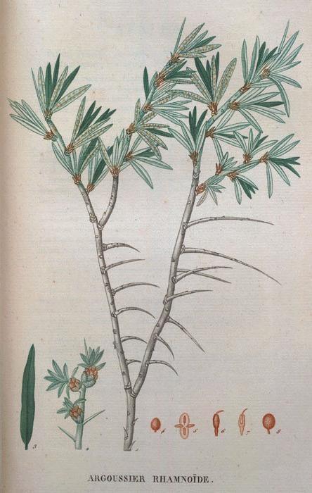 Sea Buckthorn (Hippophael rhamnoides)