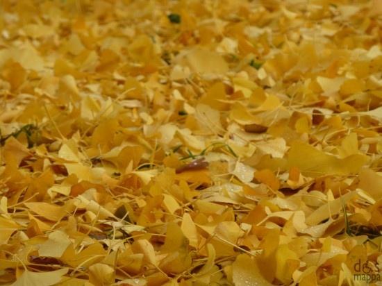 Il tappeto giallo del ginkgo biloba in Piazza Indipendenza