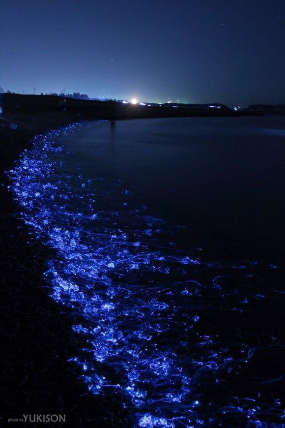 Firefly squids beached on the coast of Toyama Bay
