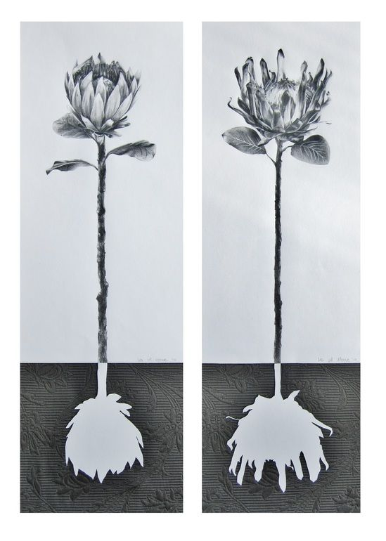 "Saatchi Art Artist: Ira van der Merwe; Pencil 2013 Drawing ""Protea Roots (Diptych)"""