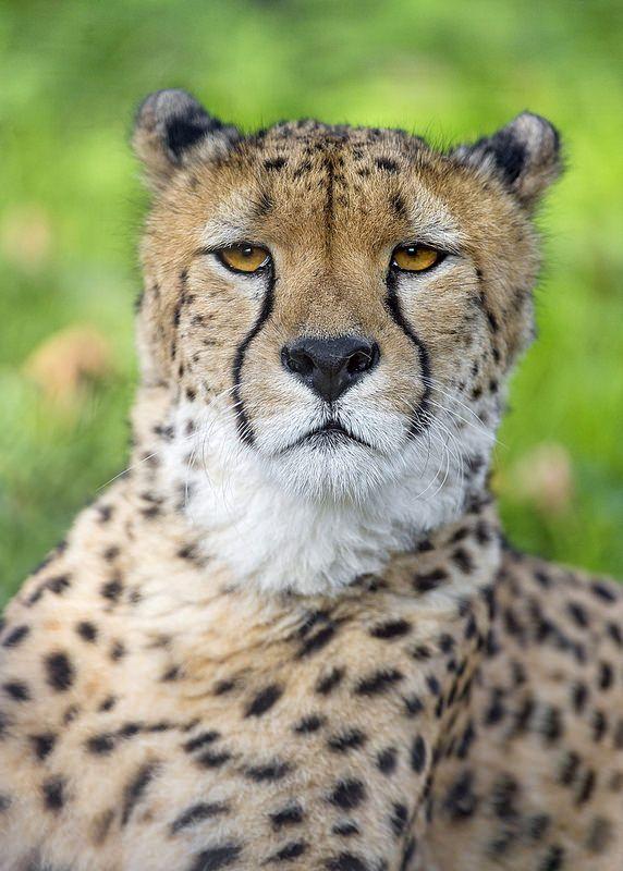Proud cheetah | Flickr - Photo Sharing!