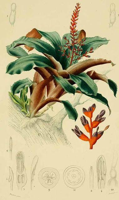"""Olímpia Reis Resque: Enormes tufos de  bromélias """"...No ponto de divisão dos galhos das árvores maiores, crescem enormes bromélias, de flores em espiga ou em panícula, escarlates ou de outras cores igualmente belas;..."""". Texto de Maximilian, Príncipe de Wied Neuwied (1782-1867). Ilustração em: D´Orbigny, C. V. D. Dictionnaire universel d´histoire naturelle. v. 3, 1841-1849.  www.plantilustration.org. No Blog olimpiareisresque.blogspot.com Visite!"""