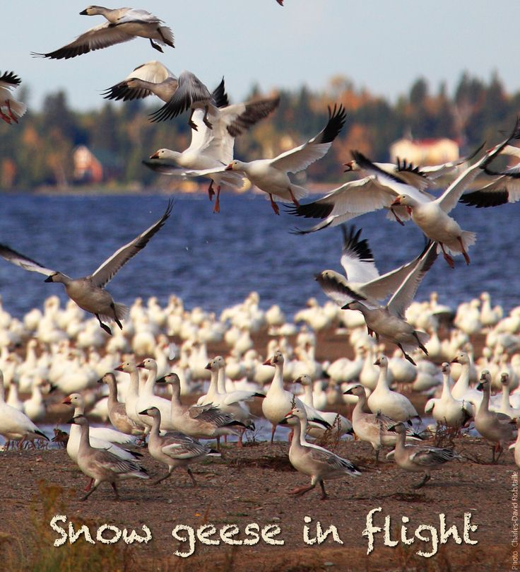 Reason #65 to visit the Saguenay-Lac-Saint-Jean region this summer : Because of the snow geese in flight. #175reasons #QcOriginal