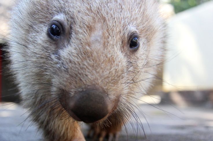 """I'm ready for my close-up!"" Wombats are typically nocturnal creatures, but Chloe doesn't mind venturing out for a photo opp during the day."