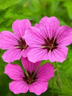 Geranium Patricia  ||  ♡ THIS IS A MUST FOR OUR GARDEN!!! I AM SO IN LOVE WITH THESE DELICATE BEAUTIES! ♥A