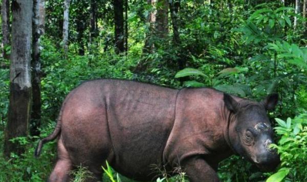 Nasib Badak Sumatera dalam Proses Pemusnahan dan Proyek Panas Bumi