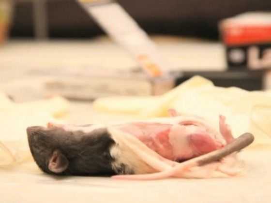 Brooklyn artist Laura Ginn served up a $ 100 per head dinner for a Lower East Side Gallery show on Wednesday. SHE SERVED RATS.