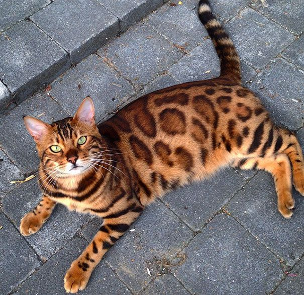 Thor, the Bengal cat. Just look at its emerald green eyes lurking from its beautiful sandy fur.