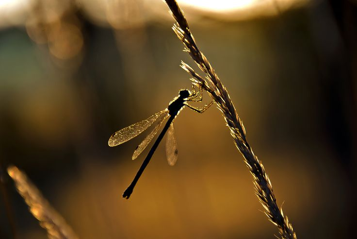 500px / Sunset Dragonfly by A-J Rantala
