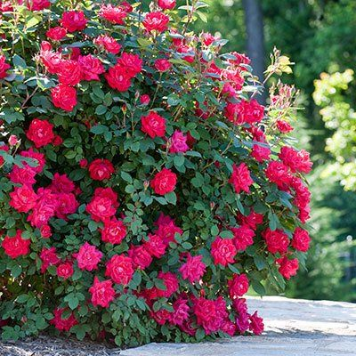 how to grow a rose tree