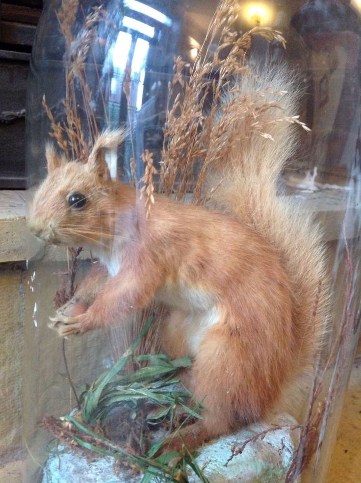Antique Stuffed Red Squirrel in original glass dome in Collectables, Animals, Taxidermy | eBay