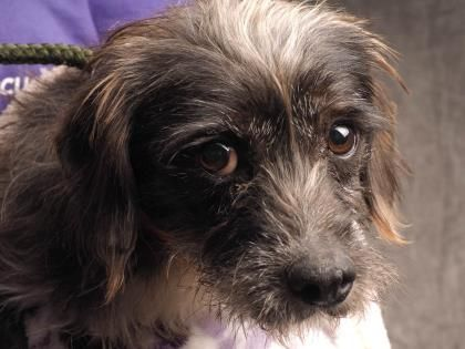 10/30/16 SL~~~07/28/16-Petango.com – Meet Sherman, a 2 years 11 months Dachshund, Standard Wire Haired / Poodle, Miniature available for adoption in COLORADO SPRINGS, CO