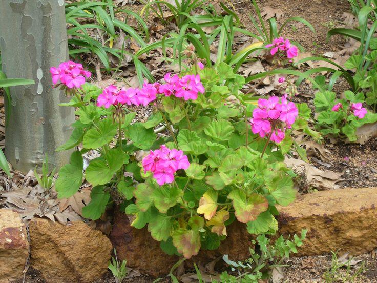 Geranium in pink